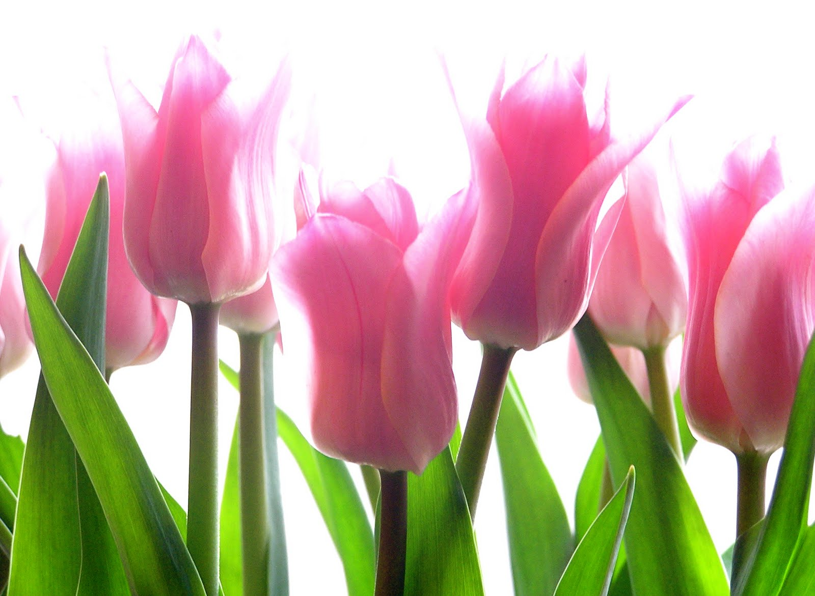 870587-pink-tulips