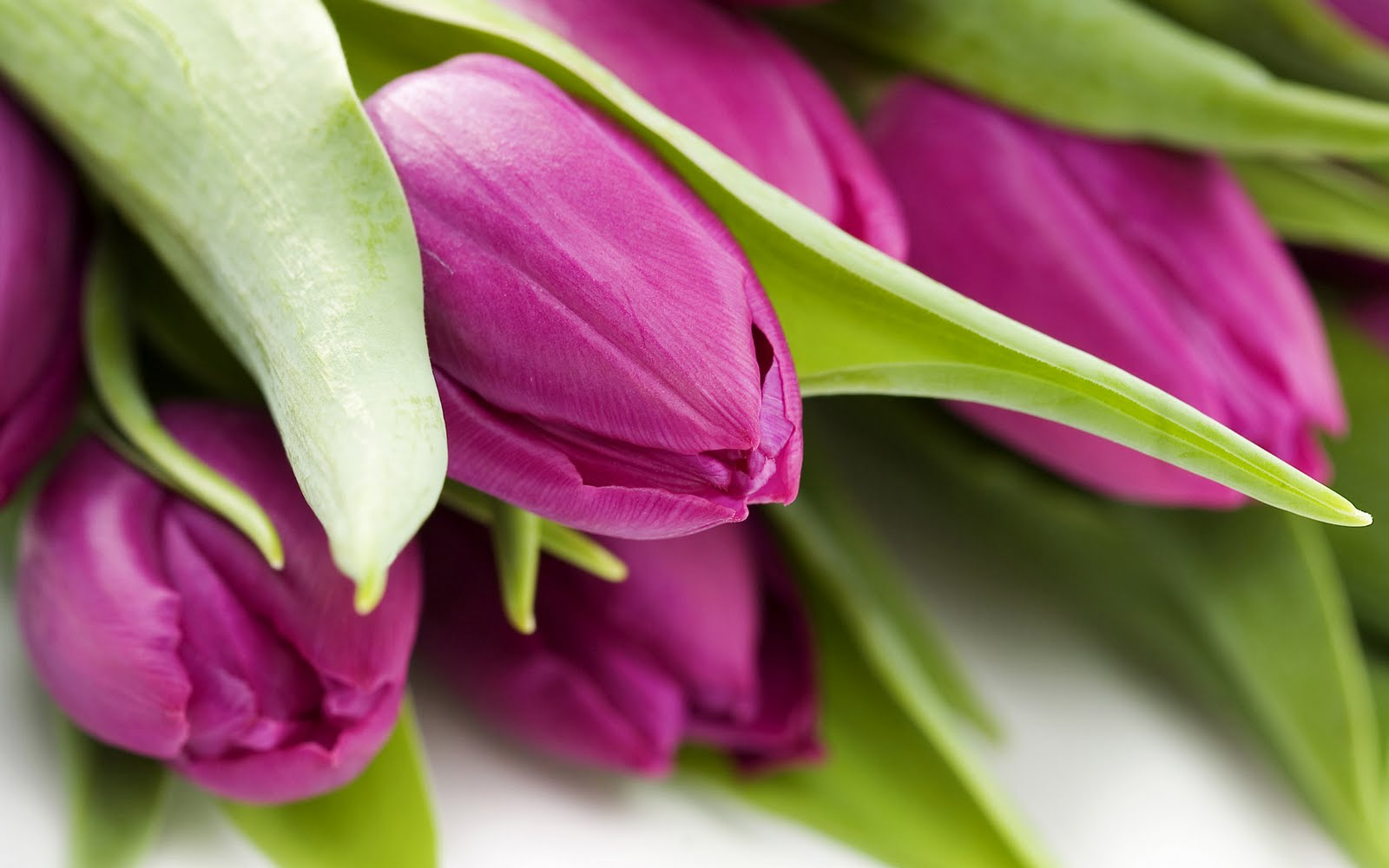 Purple-Tulips-wallpaper