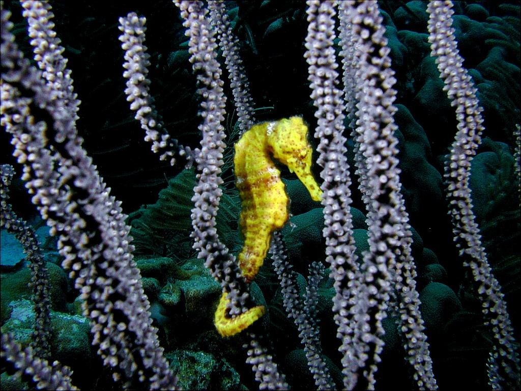 Seahorse_Desktop_Backgrounds_HD_chillcover.com_