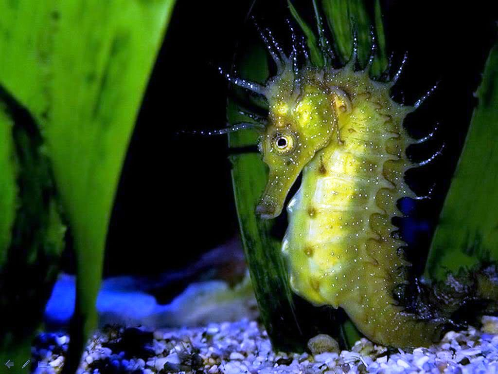 Wallpapersxl Seahorse Green Dark Hd Pictures Nature 92029 1024x768