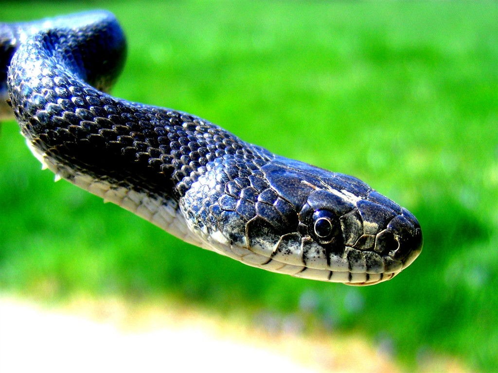 black-mamba-snakes-hd-wallpapers-best-awesome-beautiful-high-quality-desktop-background-images