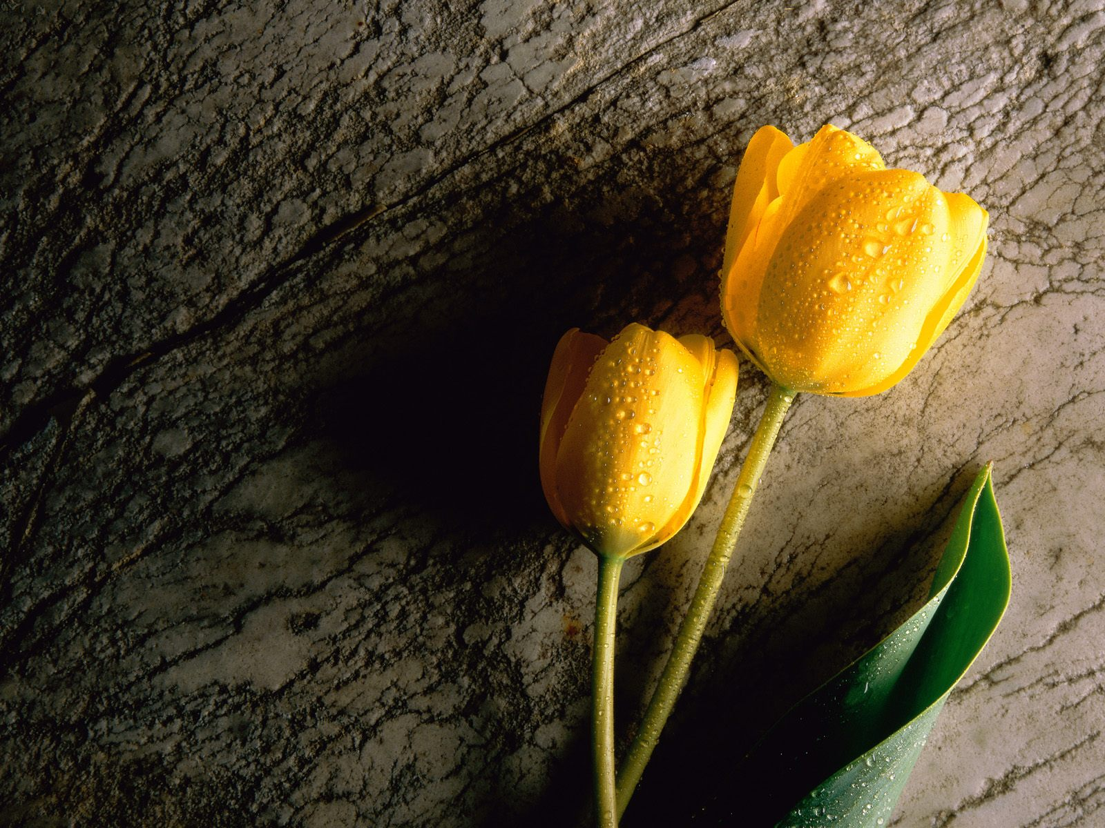 yellow_tulip