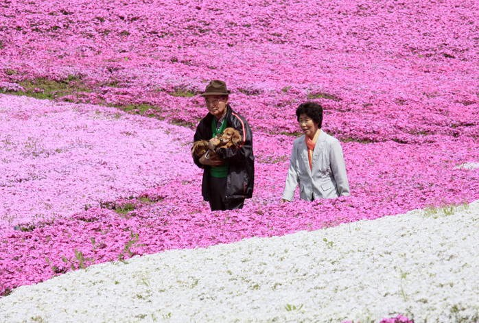 Visitors enjoy moss pink field covered on the hill at the Hitsujiyama Park in Chichibu city in Saitama prefecture, suburban Tokyo on April 24, 2009. A million people are expected to visit the colorful patchwork field during the upcoming Golden Week, a week long holiday in Japan. AFP PHOTO / Yoshikazu TSUNO (Photo credit should read YOSHIKAZU TSUNO/AFP/Getty Images)